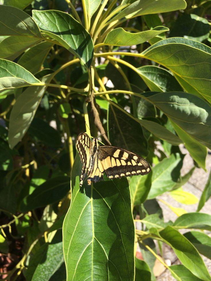 Butterfly on my Avocado tree