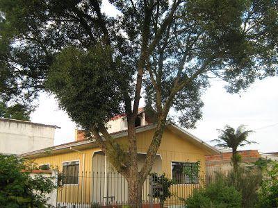 Orquídeas, aves, ovinos, plantas, animais, vida do interior....: Imbuia, árvore nativa do Brasil