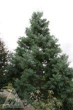 Sequoiadendron giganteum ' Hazel Smith ' Blue Giant Redwood