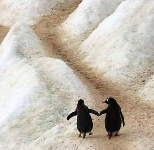we shall walk hand-in-hand.: The Roads, Animal Pictures, Hold Hands, Friends, Penguins Love, Soul Mates, Baby Animal, Soulmates, Sweet Dreams
