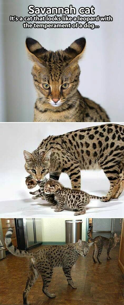 Savannah Cat   A Cat That Looks Like A Leopard With Temperament Of A Dog.