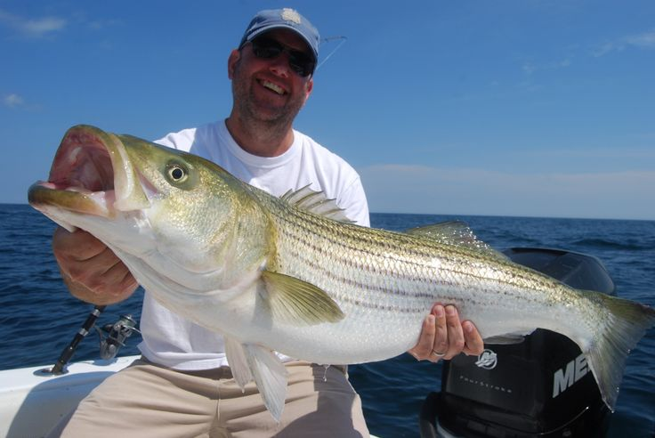 52 best striped bass images on pinterest bass fishing for Striped bass fishing tips