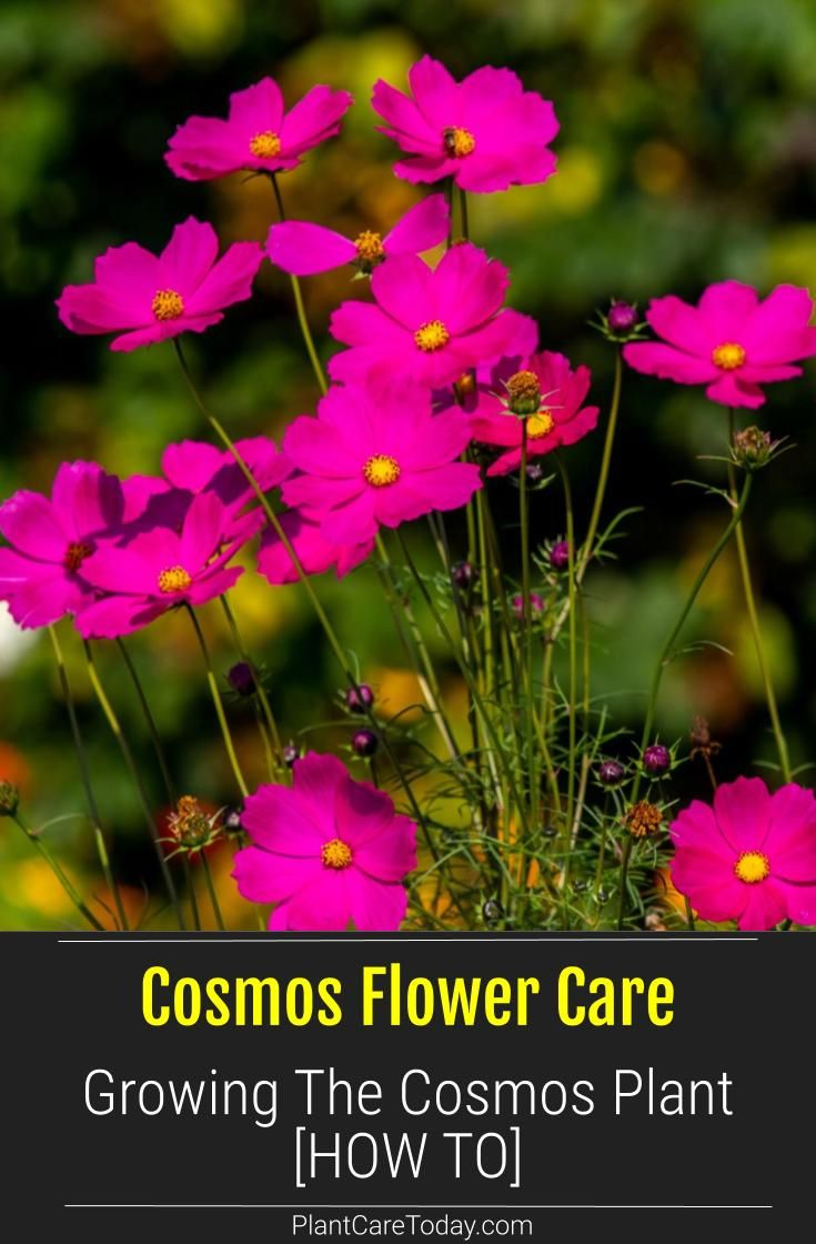 Cosmos Flower Growing And Care For The Cosmos Plant In 2020 Plants Cosmos Plant Annual Flowers