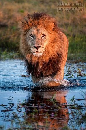 The Right Stuff!! Lion patrolling the swamps at  Duba Plains Camp, Okavango Delta, Botswana by Dana Allen PhotoSafari Webiste
