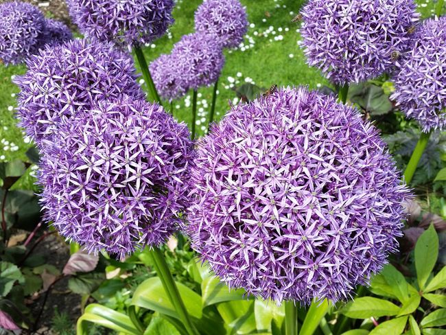 les 25 meilleures id es de la cat gorie fleurs d 39 allium sur pinterest jardin violet pelouses. Black Bedroom Furniture Sets. Home Design Ideas