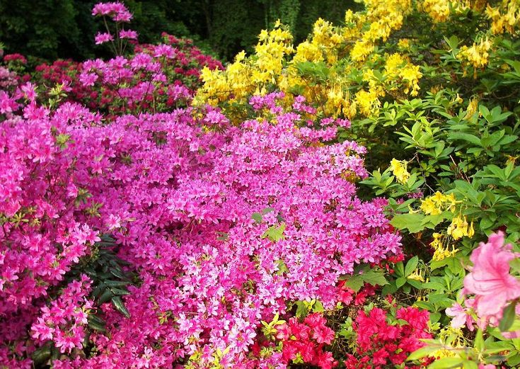 Rhododendron Azaleen