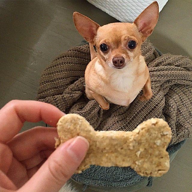 Resultado de imagen para chihuahua treat