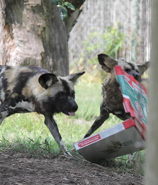At the Houston Zoo in Texas, African wild dogs enjoy empty pizza boxes that are given to them as scent enrichment. They roll around on the boxes and tear them apart. Different scents help make their days more interesting.
