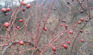 csipkebogyó - fűben-fában egészség