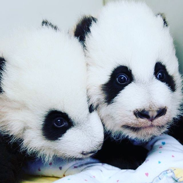 Shauna brings us today's #panda cub update! #ZAPandas #OnlyZooATL  We hope by now you've all heard the exciting news that the cubs finally have names: Ya Lun (Cub A) and Xi Lun (Cub B!). Maybe they don't know their names just yet, but in their world, they're still continuing on track with their own set of milestones. And a milestone for me is going to be learning to call them by their new names!  Xi Lun/Cub B isn't the only one with teeth now! Ya Lun/Cub A, too, has had both of her bottom…