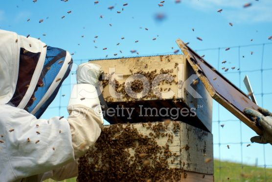 Beekeeper tending to his Hives. royalty-free stock photo