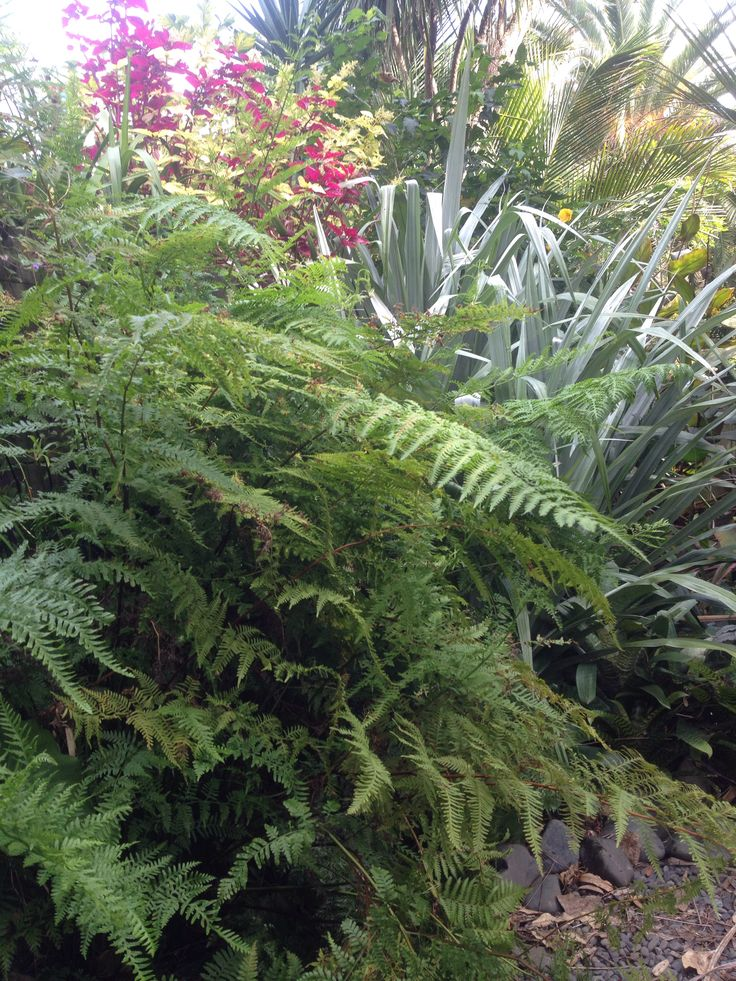 Silver Astelia's with hen and chicken ferns.  www.tuihousehealing.co.nz