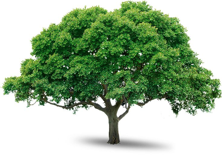 tree_PNG216.png (912×635)