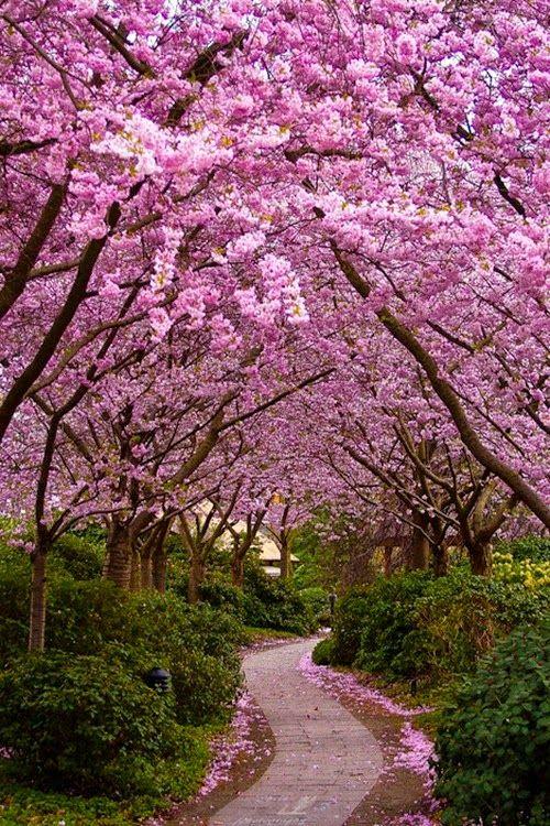 """Cherry Blossoms"" YOU ARE INVITED TO READ AN INTERESTING ARTICLE ABOUT THIS TOPIC IN THE FOLLOWING LINK: http://wol.jw.org/en/wol/d/r1/lp-e/102005247 - jw.org/en  ""Flor del cerezo"" LEA UN INTERESANTE ARTÍCULO SOBRE ESTE TEMA EN EL SIGUIENTE ENLACE: http://wol.jw.org/es/wol/d/r4/lp-s/102005247 - jw.org/es"