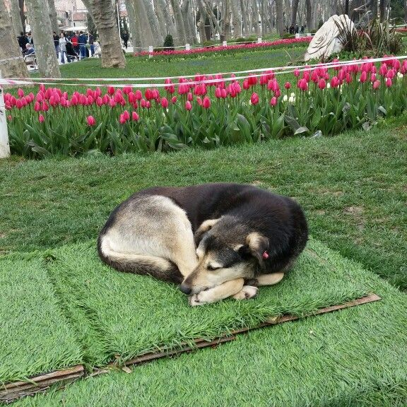 Relaxing by the Tulips in the gardens of Topkapı Palace