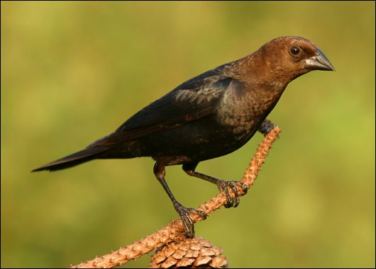 brown headed cowbird and songbird relationship marketing