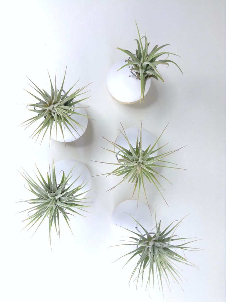 Aerial shot of mini air plants on hand-painted wooden stands. #handmade #airplants #DIY