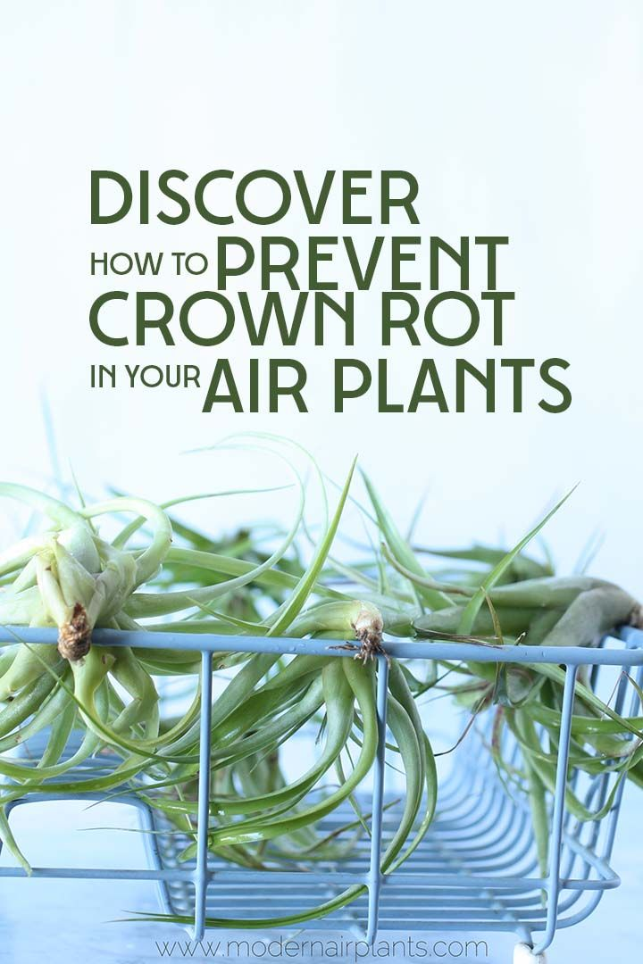 Find out why properly drying your air plant is SO important to the life of your air plant.