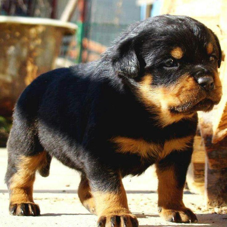 Wonderful Heavy Chubby Adorable Dog - c62f9807f1154012ba1ea8cbf080f99e--chubby-puppies-rottweilers  HD_41211  .jpg