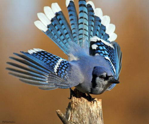 craft ideas with feathers 131 best images about blue jays on canada 3974