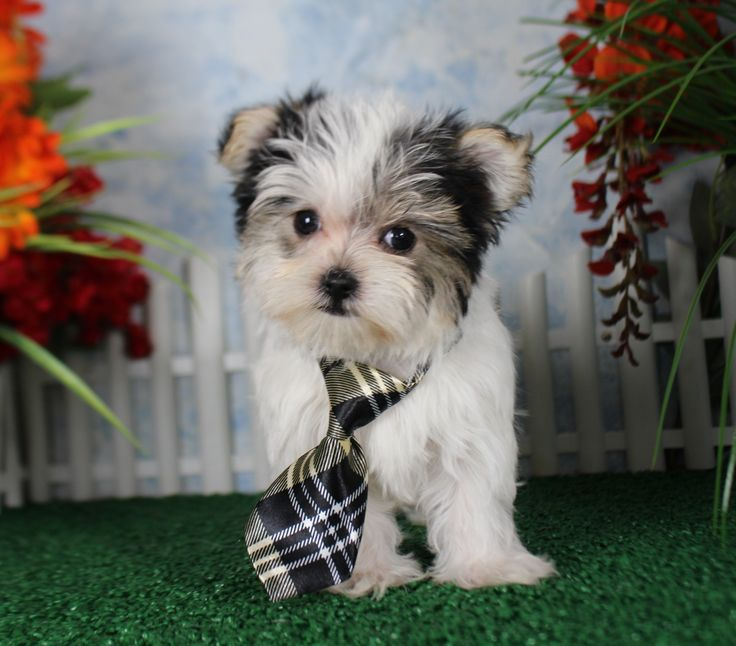 shih tzu yorkie poodle mix 25 best ideas about bichon shih tzu mix on pinterest 883