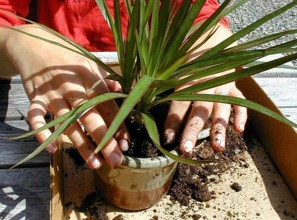 Préférence 33 besten Senecio Bilder auf Pinterest | Saftig, Gardening und  RD33