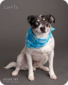 Phoenix, AZ - Australian Cattle Dog/Chihuahua Mix. Meet Lorris, a dog for adoption. http://www.adoptapet.com/pet/16194704-phoenix-arizona-australian-cattle-dog-mix