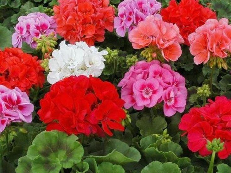 Секреты пышного цветения герани