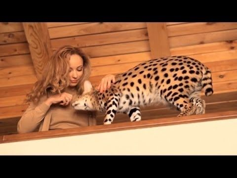 17 Best Images About Dream Pets Bengal Serval Russian