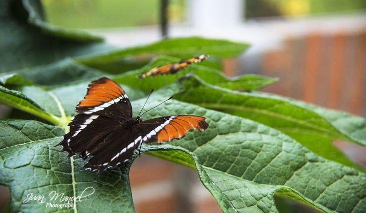 Fotografía natural, mariposa reposando.