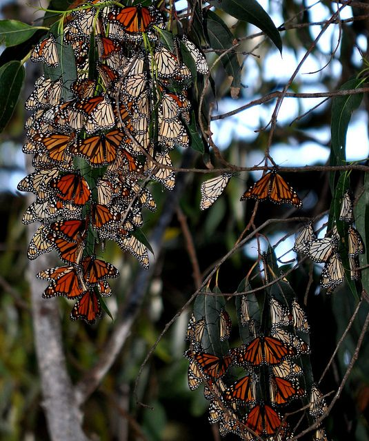 Monarch Migration – The trees are alive.  In Santa Cruz, CA at Light House State Park.
