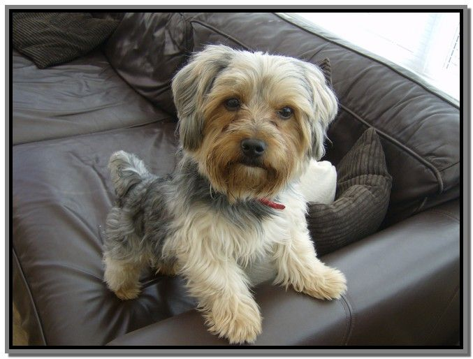 shorkie haircut styles 14 best images about shorkie amp yorkie amp shih tzu on 4364
