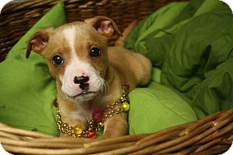 Boxer Mix Puppy for adoption