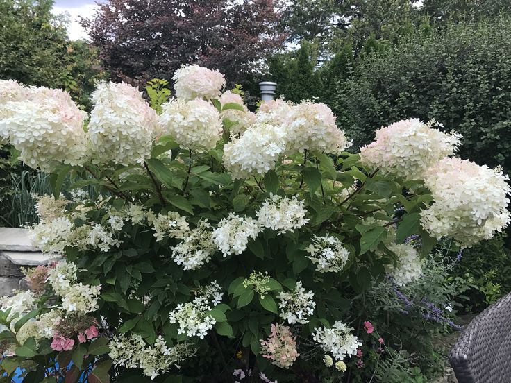 Wonderful hydrangeas