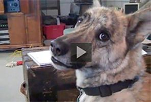 THIS FUNNY TALKING CANINE IS THE BARKER BLOCKBUSTER OF ALL TIME | This dog is a dog's dog. Know what I mean? He thinks and slobbers like me. Loves bacon and cat food like me. Yummo! This perfectly produced pooch talking video has gotta be the barker blockbuster of them all with over 130 million views. It's called Ultimate Dog Tease and was made by Andrew Grantham, a popular Canadian entertainer. He has taken animal dubbing to a new level. Check it out.