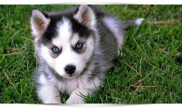 siberische-husky-puppy-opvoeding