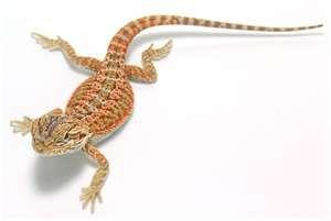 Bearded Dragons ( Pogona Vitticeps ) I want one