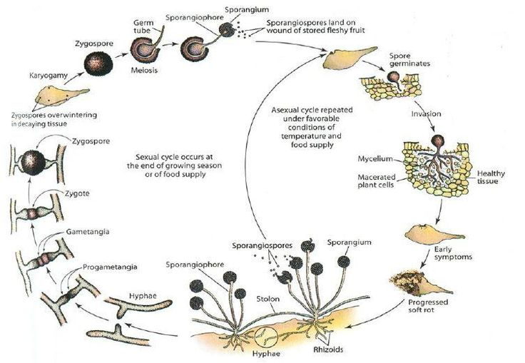 Life cycle_Zygomycota