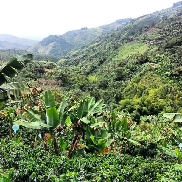 Cultivos de café y platano en las montañas de colombia.