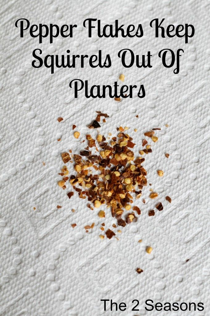 Pepper Flakes Keep Squirrels out of Planters