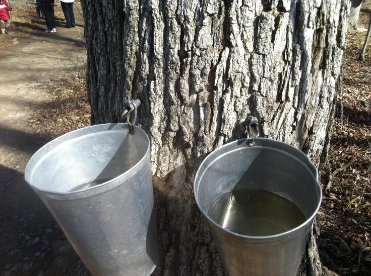 Double Tapped Mountsberg Maple Tree -