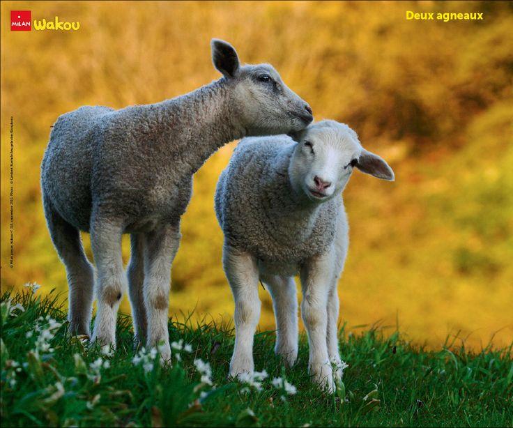 © Milan presse, Wakou n°318, septembre 2015. Photo:©Giesbert Kuehnle/Imagebroker/Biosphoto. #agneaux