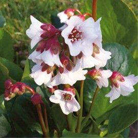 Vivace à feuillage ample, coriace et persistant idéal en couvre-sol. Floraison printanière blanc rosé.