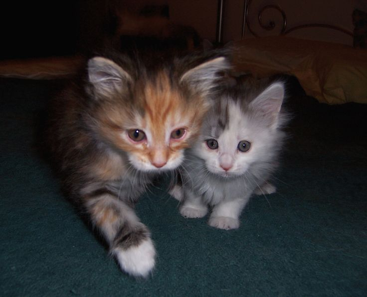 Coonwirthy, Maine Coon kittens for sale in Austin, Texas