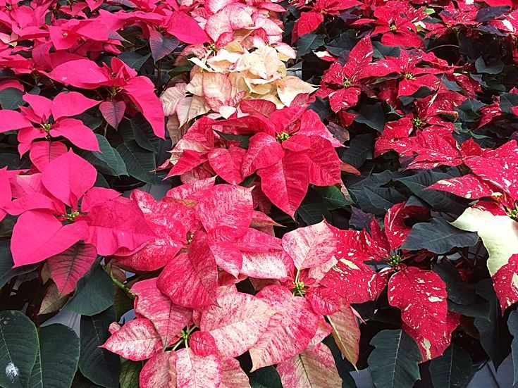 I Love Giving Poinsettia Plants As A Christmas Gift But The Cost Can Quickly Add Up Here S A Video Poinsettia Plant Christmas Plants Flower Centerpieces Diy