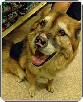 Lancaster, CA - German Shepherd Dog/Alaskan Malamute Mix. Meet Bandit, a 8yr. old senior dog for adoption. http://www.adoptapet.com/pet/17306823-lancaster-california-german-shepherd-dog-mix. Bandit was found as a stray & is now available at Ruff Patches Rescue.