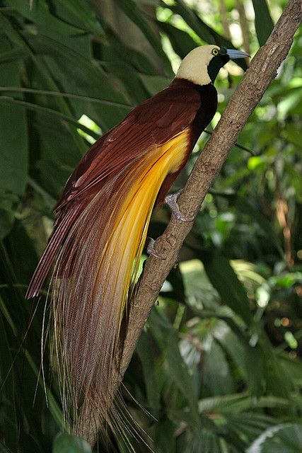 Bird of Paradise in Bali--Photo by Bertrand Linet, my favorite bird, there are lots of varieties..