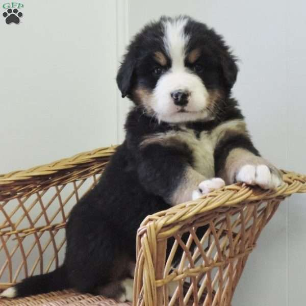 Royal, Bernese Mountain Dog Puppy