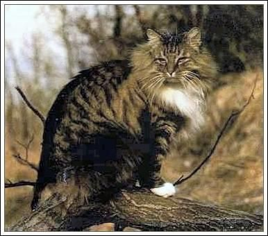 Norwegian Forest cat.  It is an ancient natural breed that at one time lived in the woods of Norway.  Loves the outdoors but also loves to be petted and handled.  Good companion.