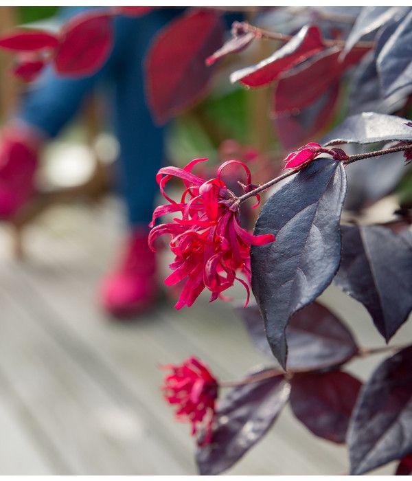 Riemenblute Ever Red Bambus Pflanzen Immergrune Pflanzen Ziergeholze